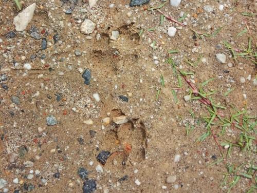 Harimau Makan Ternak Warga di Sinaboi Rohil, BBKSDA Riau: Itu Jejak Anjing Bukan Si Belang